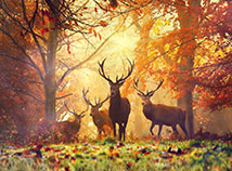Autumn  screensavers  nfsDeerintheForest