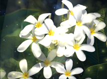 Flowers  screensavers  nfsFlowersWhite