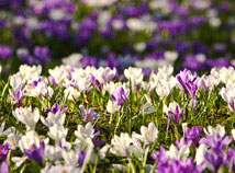 Spring  screensavers  nfsSpringBlossom4