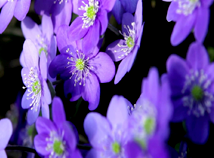 Flowers  screensavers  nfsViolets