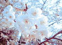SpringCherryBlossom