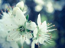 SpringCherryBlossom3