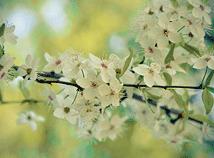 SpringCherryBlossom4