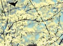 SpringCherryBlossom5