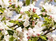 SpringCherryBlossom6