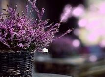 VioletSpring